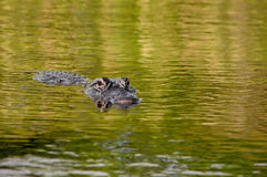 American Alligator. In the Florida Everglades National Park at Everglades Holiday Park Royalty Free Stock Images