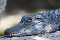 American Alligator. Suns itself on a log Royalty Free Stock Photography