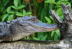 American Alligator. Here is an up close and personal look at an alligator in the Wakulla Springs Park in Florida Royalty Free Stock Images