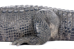 American Alligator (30 years) Royalty Free Stock Photo