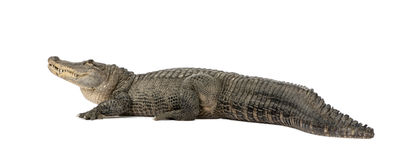 American Alligator (30 years). Alligator mississippiensis in front of a white background Stock Images