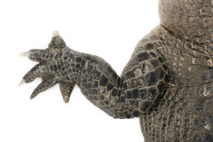 American Alligator (30 years) Stock Images