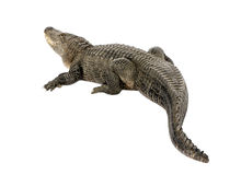 Free American Alligator (30 Years) - Alligator Mississi Stock Images - 8417494
