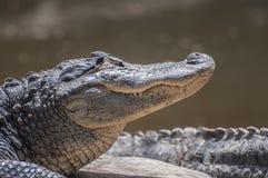 Free American Alligator Royalty Free Stock Image - 30526106