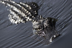 American Alligator. In the everglades of Florida Royalty Free Stock Photo