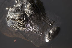 American Alligator. In the everglades of Florida Royalty Free Stock Photography