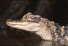 American alligator. Young American alligator close up Stock Images