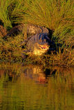 American Alligator, Alligator mississippiensis. Portrait of an American Alligator at sunset, with reflection Stock Photography