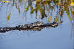 American alligator (Alligator mississippiensis). In Everglades National Park, Florida Royalty Free Stock Photo