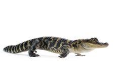 American Alligator - Alligator Mississippiensis Stock Image