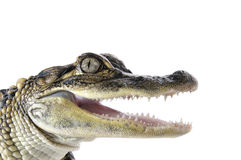 American Alligator - Alligator Mississippiensis Stock Image