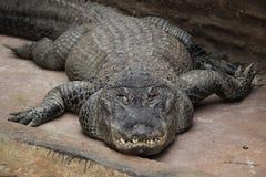 American Alligator (Alligator Mississippiensis).