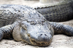 American Alligator - Alligator Mississippiensis. The American Alligator - Alligator Mississippiensis Stock Image