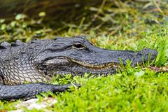American alligator Alligator mississippiensis. The American alligator Alligator mississippiensis is endemic to the southeastern United States of America Stock Photo