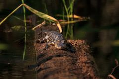 American alligator Alligator mississippiensis Stock Photography
