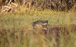 American alligator Alligator mississippiensis. Suns itself at the Fred C. Babcock and Cecil M. Webb Wildlife Management Area in Punta Gorda, Florida Stock Photography
