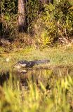 American alligator Alligator mississippiensis. Suns itself at the Fred C. Babcock and Cecil M. Webb Wildlife Management Area in Punta Gorda, Florida Stock Images