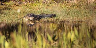 American alligator Alligator mississippiensis. Suns itself at the Fred C. Babcock and Cecil M. Webb Wildlife Management Area in Punta Gorda, Florida Stock Photo
