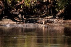 American alligator Alligator mississippiensis Stock Photo