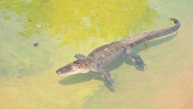 American alligator, Alligator mississippiensis. Basking in a shallow pool of water Stock Photo