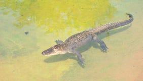 American alligator, Alligator mississippiensis Stock Photo