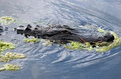 American Alligator (Alligator mississippiensis). Close-up of an American Alligator in the swamp Royalty Free Stock Images