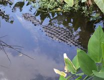 American Alligator (Alligator mississippiensis) Royalty Free Stock Images