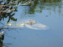 American Alligator (Alligator mississippiensis) Royalty Free Stock Photography