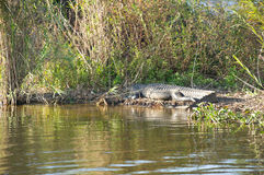 American Alligator (Alligator mississippiensis) Royalty Free Stock Photos