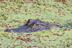 American alligator (Alligator mississippiensis), hiding in the swamp covered with duckweed Royalty Free Stock Photography