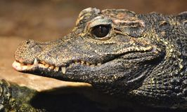 American alligator Alligator mississippiensis Royalty Free Stock Images