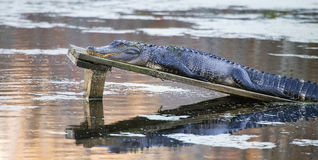 American alligator Alligator mississippiensis. A large duckweed-covered American alligator Alligator mississippiensis sunning itself on a wooden platform in a Stock Photo