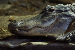 American Alligator - Alligator mississippiensis Stock Photography