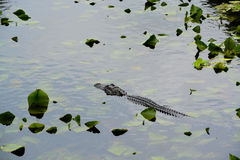 A american alligator alligator mississippiensis in Largo, Florida.  Royalty Free Stock Photo