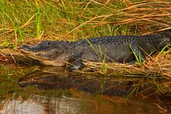 American Alligator, Alligator mississippiensis, NP Everglades, Florida, USA. Crocodile in the water. Crocodile head above water su Royalty Free Stock Images
