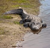 American Alligator Alligator mississippiensis on River Bank. American Alligator Alligator mississippiensis lying on river bank in Florida Stock Photo