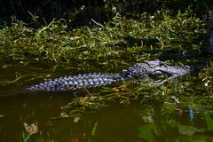 American Alligator ( alligator mississippiensis) swimming in the swamp. Royalty Free Stock Photos