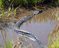 American Alligator Alligator mississippiensis Stock Image