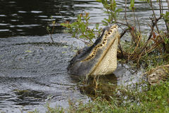 American alligator (Alligator mississippiensis) water dancing in Royalty Free Stock Photos