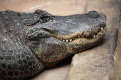 American alligator (Alligator mississippiensis). Wildlife animal Royalty Free Stock Photography