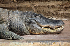American alligator (Alligator mississippiensis). Royalty Free Stock Images