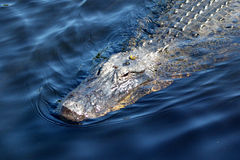 The American Alligator. American alligators reside nearly exclusively in the freshwater rivers, lakes, swamps, and marshes of the southeastern United States Stock Image
