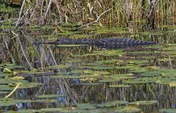 American Alligator. An American Alligator Alligator mississippiensis, on the surface of the water in a waterway in the Florida Everglades Stock Image