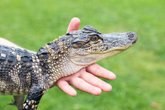 American alligator. This is a baby Royalty Free Stock Photography