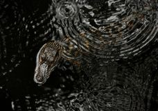 American Alligator Baby Stock Images