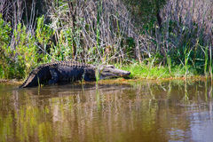 American Alligator On The Bank Stock Images