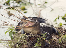 American Alligator Basking Stock Image
