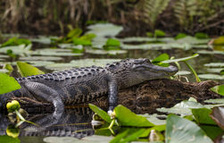 American Alligator basking on log, Okefenokee Swamp National Wildlife Refuge. American Alligator sunning on log among Spatterdock lily pads, Canoe Kayak Trail in Royalty Free Stock Image
