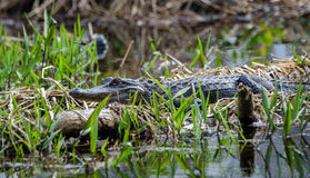 American Alligator basking on log in spike rush bog, Okefenokee Swamp National Wildlife Refuge Royalty Free Stock Image