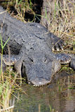 American Alligator Basking in The Sun Stock Images